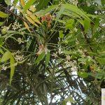 Neem Tree Flowers