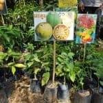 Exotic Fruit Tree - Quince