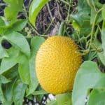 Gac Fruit - spring bitter cucumber