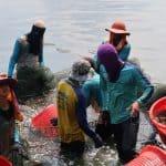 catching Thai shrimp