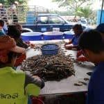selecting Thai shrimp for market