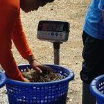 farm raised shrimp Thailand