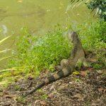 Iguana Pattaya