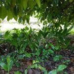 Mak saplings under a tree