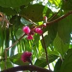 Malay Apple Flowers