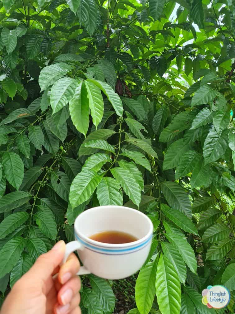 Cup of Coffee and coffee plant